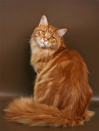 Мейн-кун: описание породы кошек