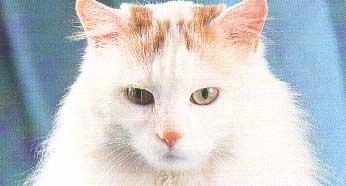 Турецкая кошка Ван: описание породы