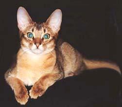 Абиссинская короткошерстная кошка
