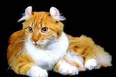 Американский керл - все о породе кошек в КотоГалерее