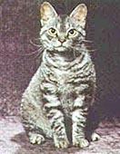 Американская жесткошерстнаякошка - все о породе в КотоГалерее