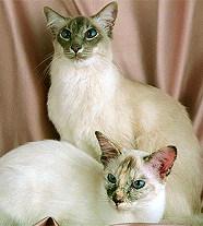 Балинезийская кошка - все о породе в КотоГалерее