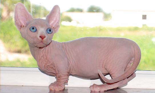 Бамбино - все о породе кошек в КотоГалерее
