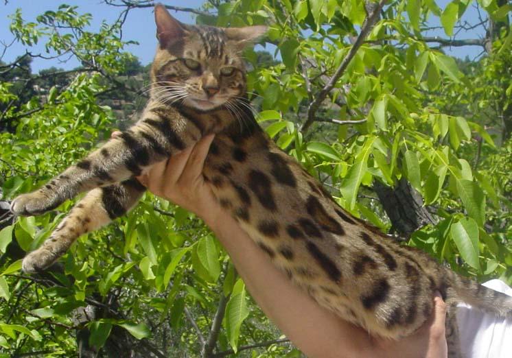 Бенгальские кошки - все о породе в КотоГалерее