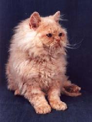 Богемский рекс - все о породе кошек в КотоГалерее