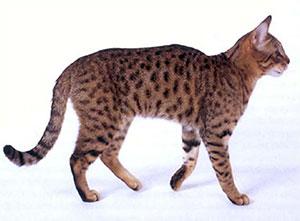 Калифорнийская сияющая - описание породы кошек