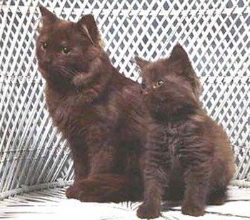 Шантильи-Тиффани: описание породы кошек