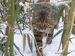 Китайская Ли Хуа: описание породы кошек