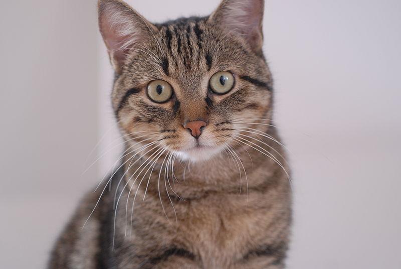 Европейская короткошерстная кошка: описание породы