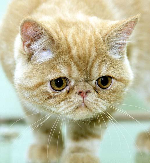 Экзот: описание породы кошек