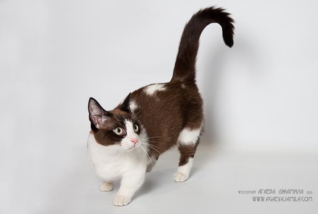 Манчкин: описание породы кошек (Tangocats Fiona)