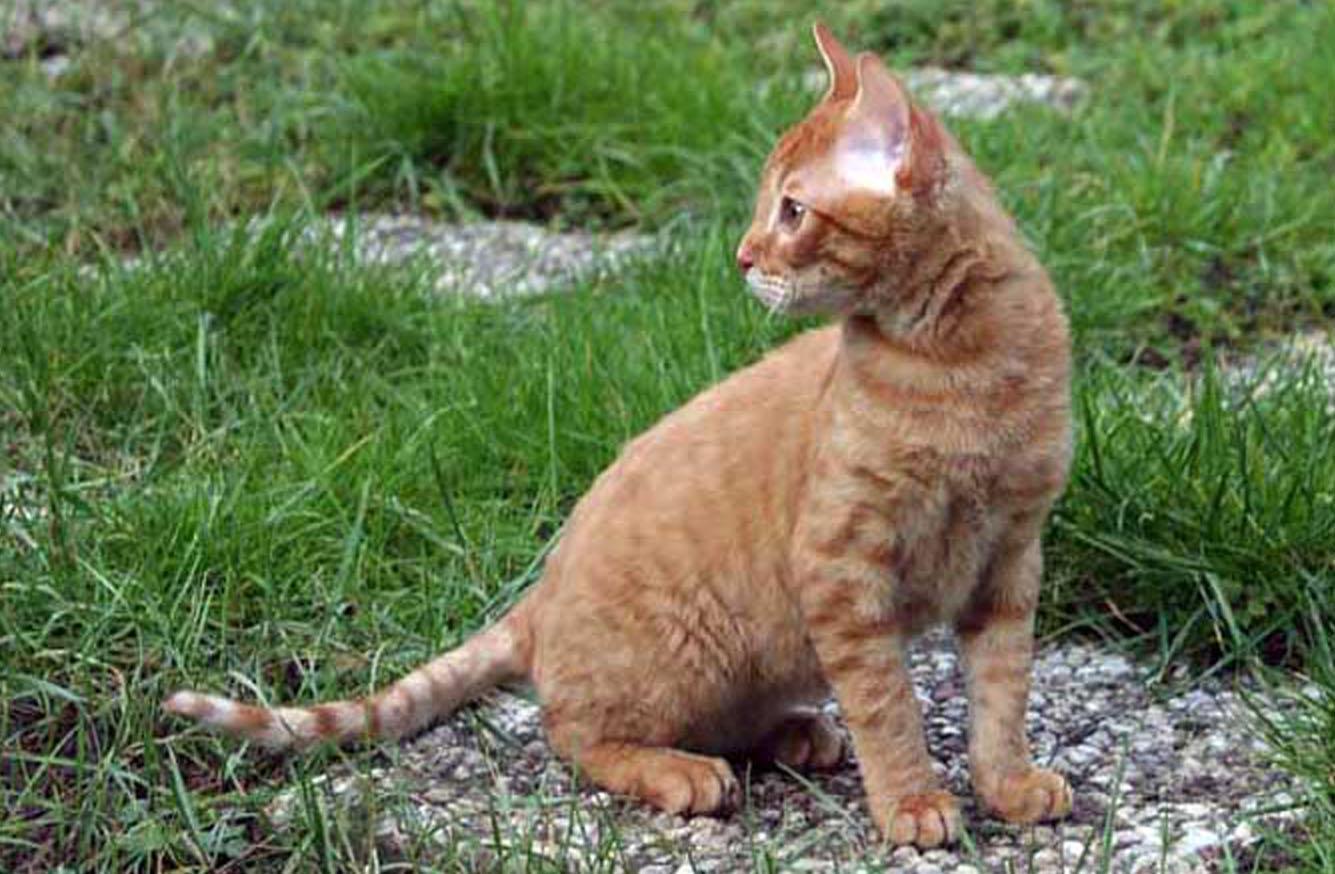 Герман-рекс, немецкий рекс: описание породы кошек