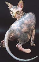 Канадский сфинкс черепахового тигровый с белым окраса, принадлежит питомнику Ностальжи, Nostalgie Kleopatra Mystery of Egypt. Фотограф Синицин Валерий