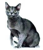 Корат: описание породы кошек