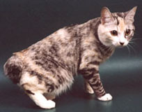 Курильский бобтейл: описание породы кошек