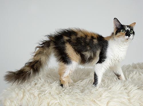 Ла-Перм: описание породы кошек