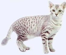 Египетская мау: описание породы кошек