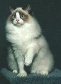Рэгдолл: описание породы кошек