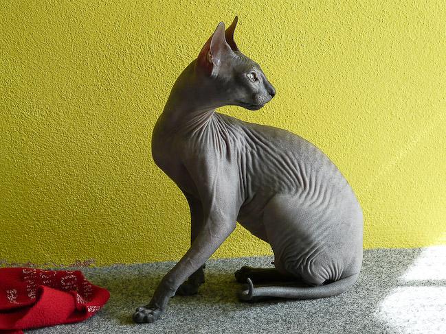 Донской сфинкс: описание породы кошек