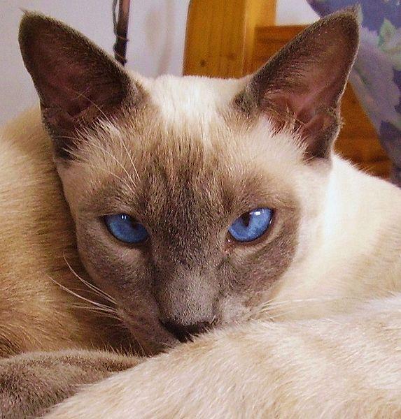 Сиамская кошка: описание породы