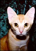 Цейлонская кошка (фото - Andrea Breuer)