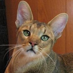 Чауси: описание породы кошек