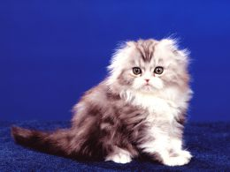Хайленд-фолд: описание породы кошек ,харакатер, история