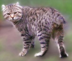 Хайлендер: описание породы кошек. фото www.catcraze.com