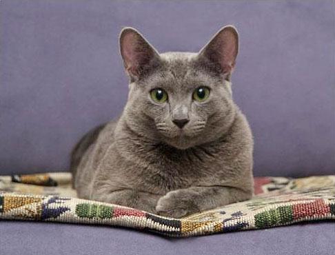 Русская голубая: описание породы кошек