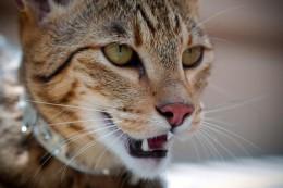 Саванна: описание породы кошек