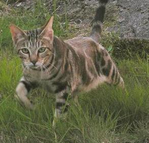 Сококе (соукок): описание породы кошек
