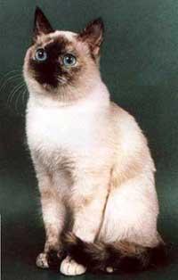 Тайская кошка: описание породы