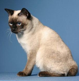 Той-боб: описание породы кошек
