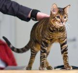 Тойгер: описание породы кошек