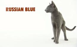 Введение в кошковедение: русская голубая, мэнская, сибирская, корниш-рекс, сингапура,