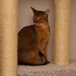 Абиссинская кошка – отличное решение при выборе между собакой и кошкой