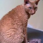 Кот породы девон-рекс