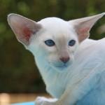 Факты о сиамских кошках