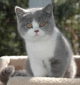 Восемь интересных фактов о британской породе кошек