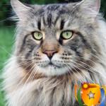 Топ-10 самых популярных пород кошек в США