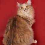 Гермиона - Кошка породы Курильский бобтейл