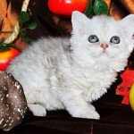 Котенок Селкирк-рекс Sharmila Tsarskaya Mechta