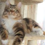 Кот Адам породы мей-кун от питомника NATALY STARS COON