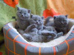 Кошки Британской породы (питомник Super Star)