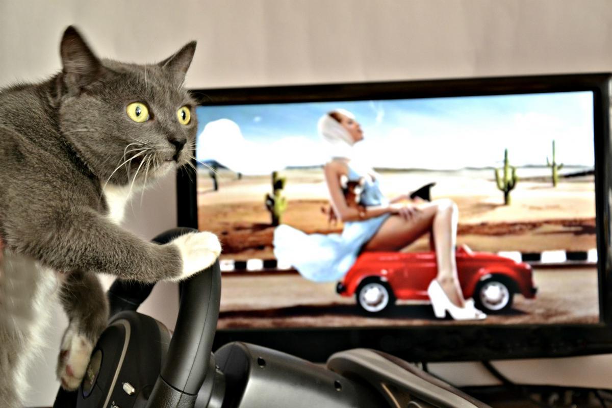 фото кошки за рулем прикольные наступит