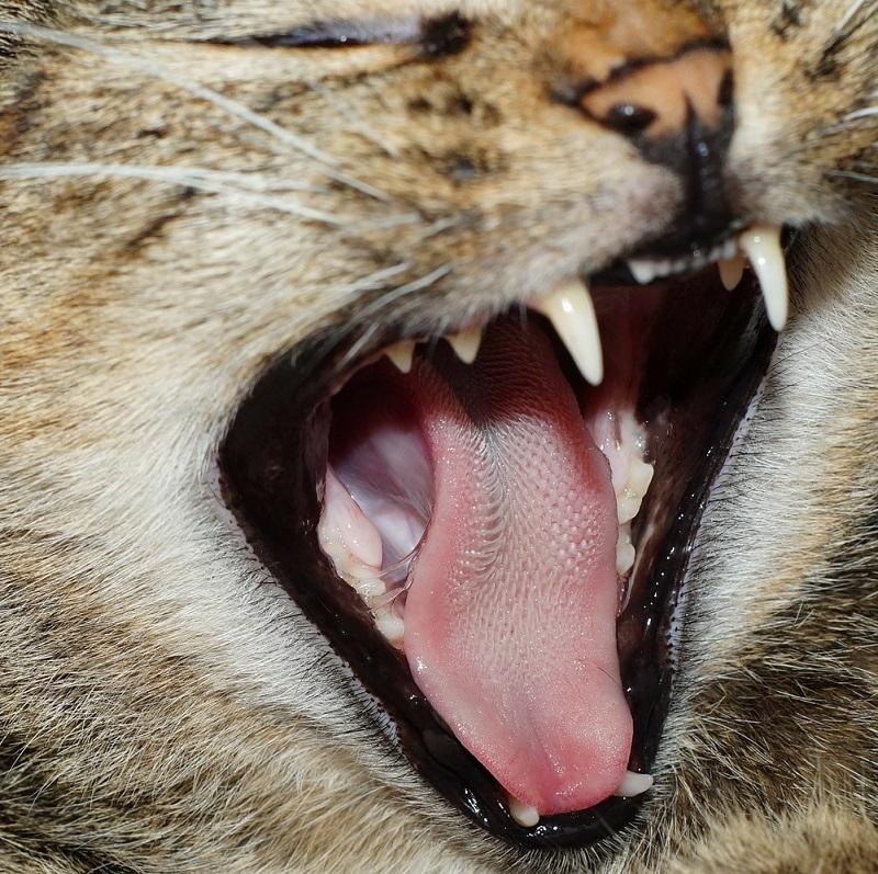 Почему у кошки шершавый язык?