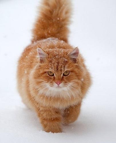 Кошки рыжие породы || Кошки рыжие породы