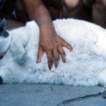 Самый толстый кот в Великобритании