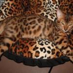 Анекдоты о кошках — 2