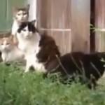Смелая крыса разгоняет стаю котов